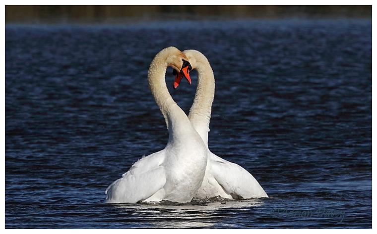 Mute Swan courtship 5