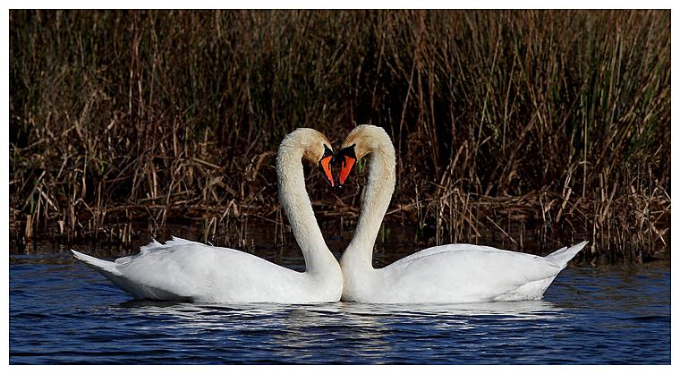 Mute Swan courtship 1