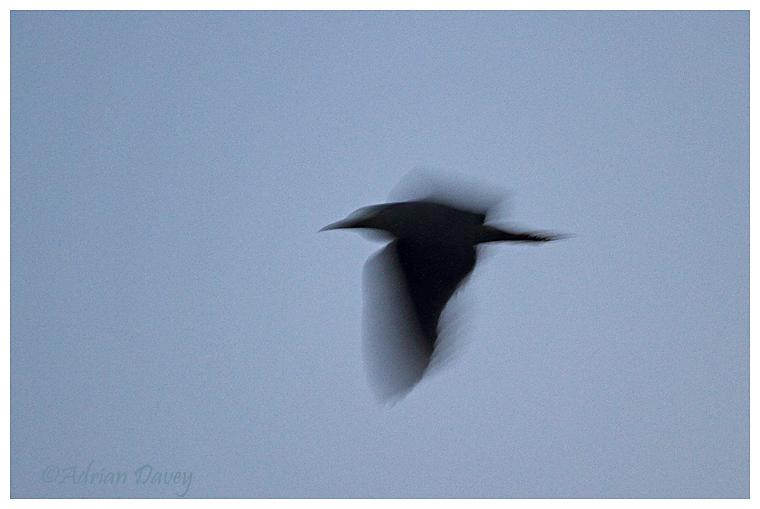 Night Heron flight silhouette