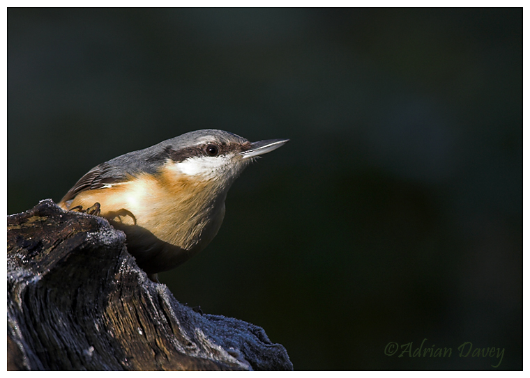 Nuthatch on frosty log.