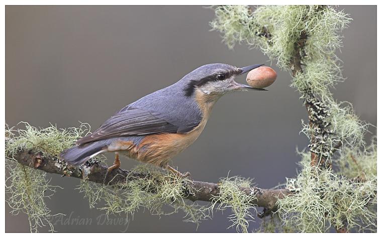 Nuthatch with Nut