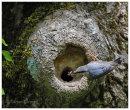 Nesting Nuthatch 1