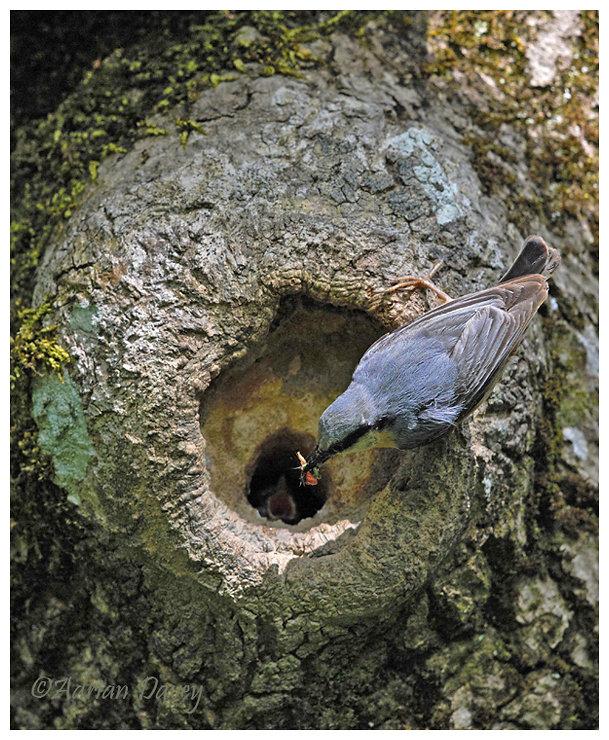 Nesting Nuthatch 2