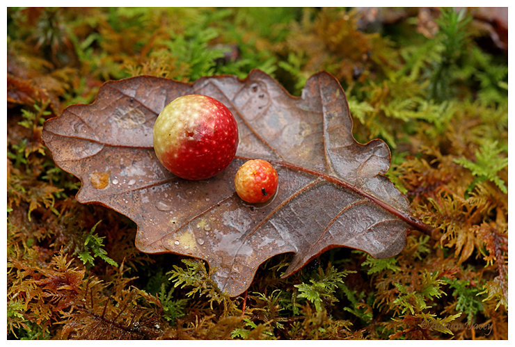 Cherry Oak Gall  on Oak Leaf