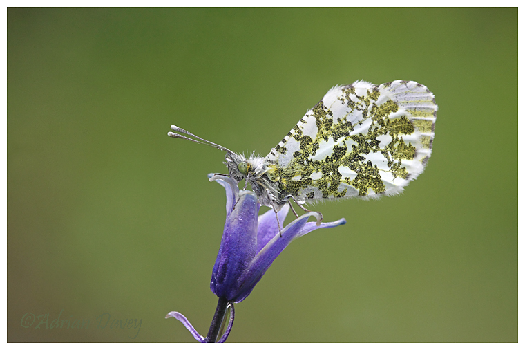 Orange Tip on Bluebell