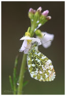 Male Orange Tip on Cuckoo Flower.