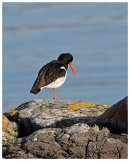 Oystercatcher on the rocks