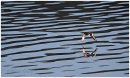 Oystercatcher over the water