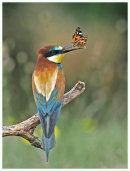 Bee eater with Painted Lady