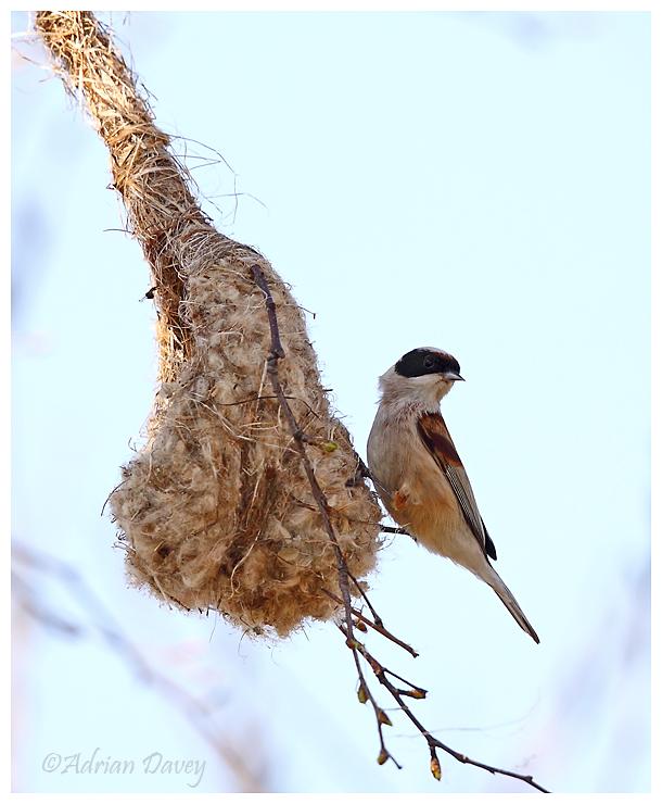 Penduline Tit at nest