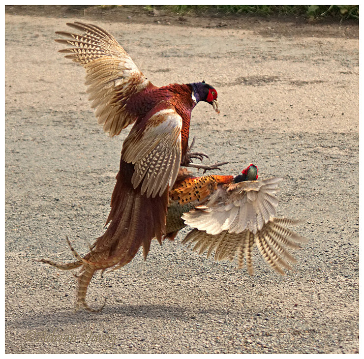 Pheasant fight