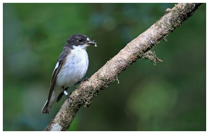 Pied Flycatcher-male
