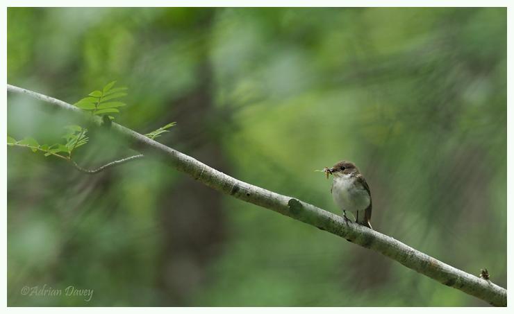 Pied Flycatcher-female