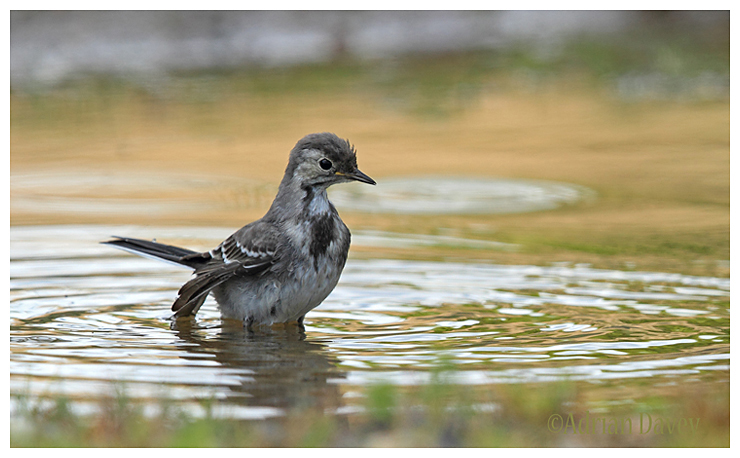 Juvinile Pied Wagtail bathing.
