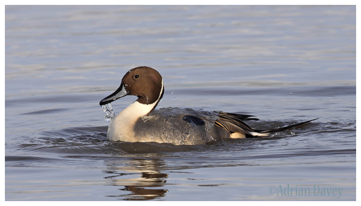 Pintail male