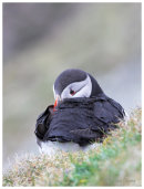 Sleepy Puffin