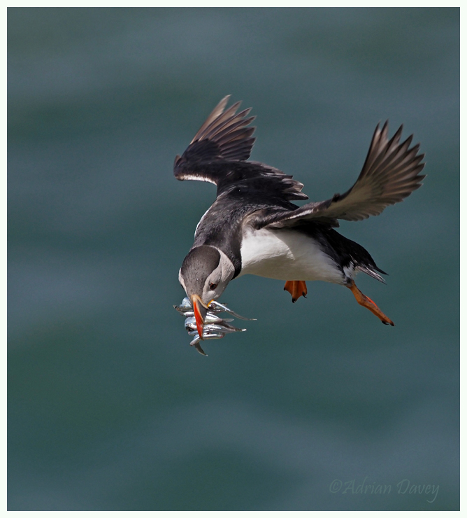Puffin coming into nest with Sand eels.