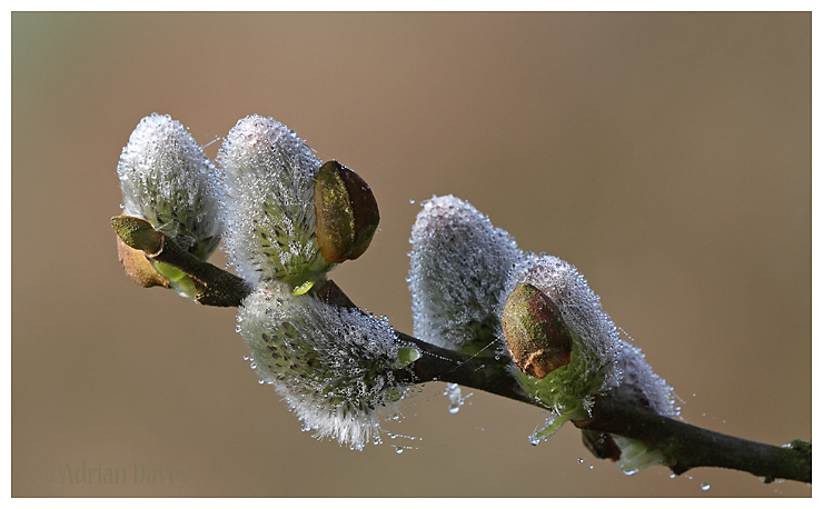 Willow Catkins with Dew 2