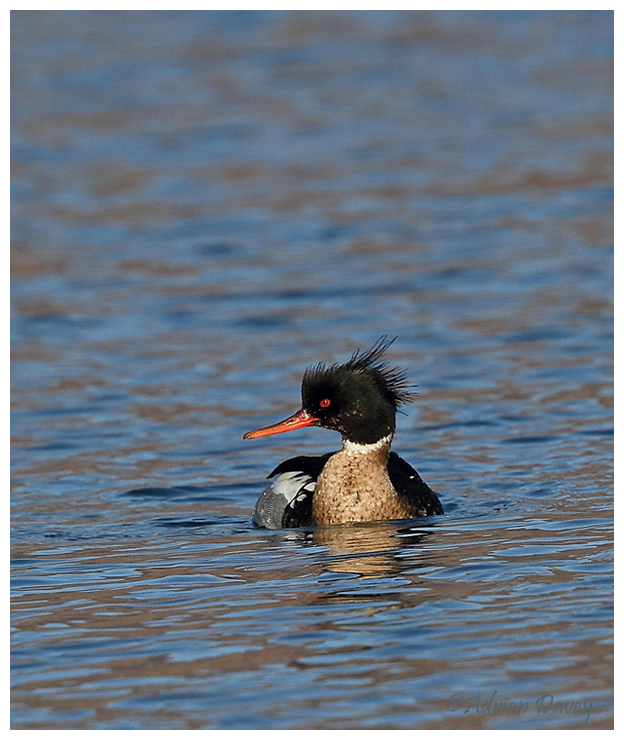 Red Breasted Merganser, male