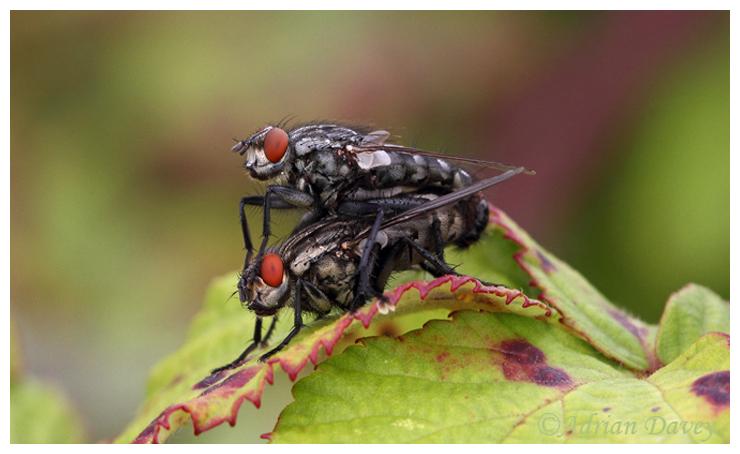 Flesh Flies mating