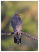 Red Footed Falcon,male