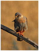 Red Footed Falcon, 1st summer male