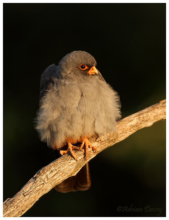 Red Footed Falcon,male in early morning light.