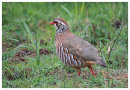 Red Legged Partridge in the rain