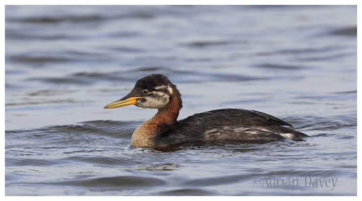 Red Necked Grebe-juvinile