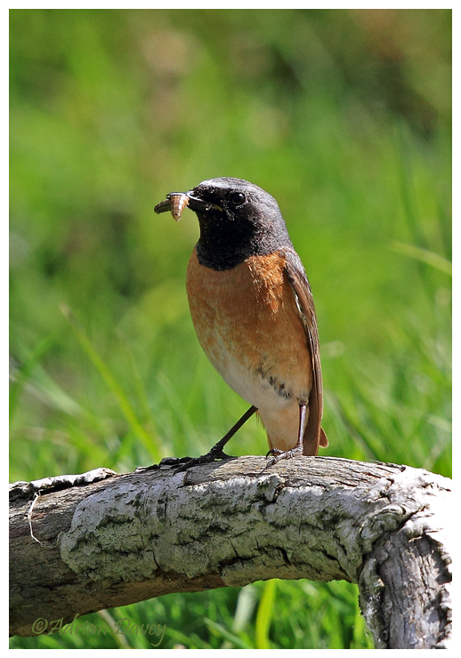Redstart male with food for its young.
