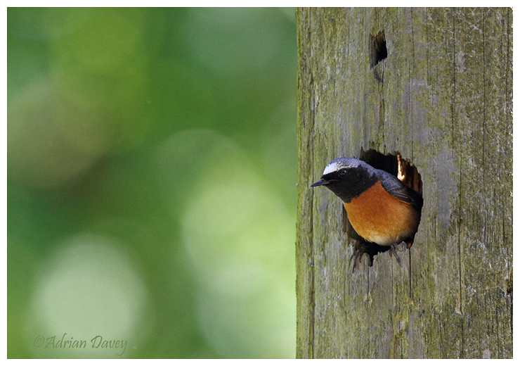 Redstart male in nest hole
