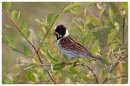 Reed Bunting male with food for young.