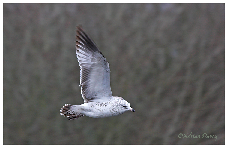 Ring Billed Gull (1st winter)