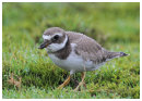 Ringed Plover juvinile in the rain.