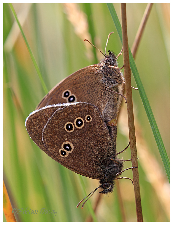 Ringlets paired