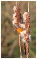 Robin on Reedmace