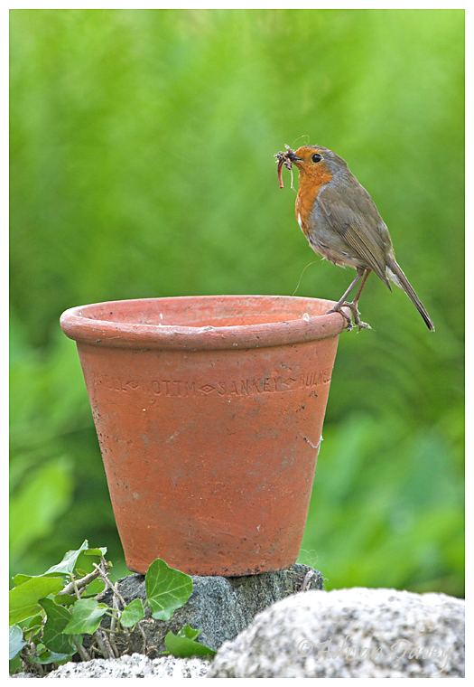 Robin with food on flower pot.