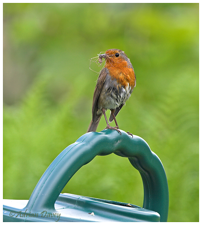 Robin with food on garden watering can