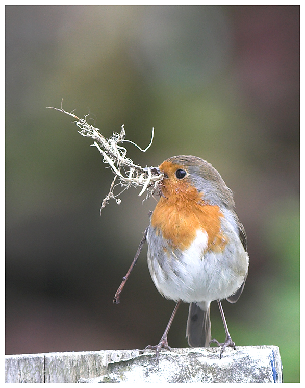 Robin with nest material 3