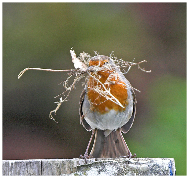 Robin with nesting material 1