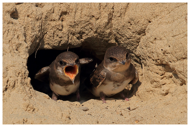 Sand Martin, juveniles in nest entrance 2