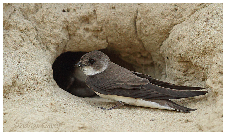 Sand Martin , adult at nest entrance