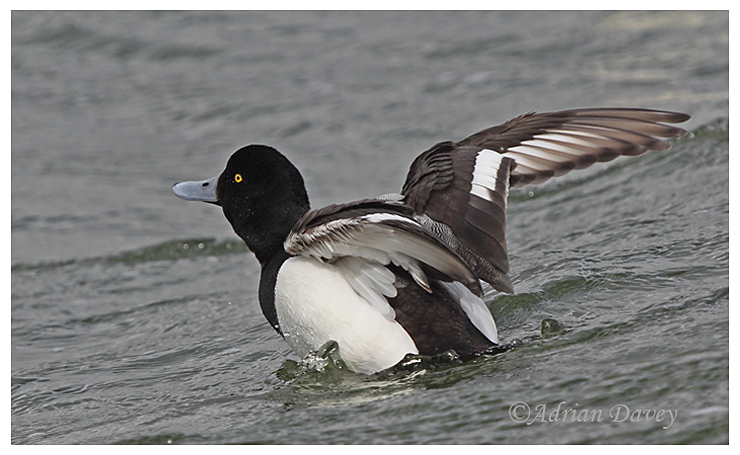 Drake Greater Scaup