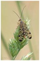 Scorpian Fly male