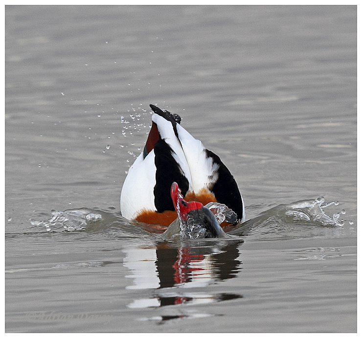 Shelduck bathing