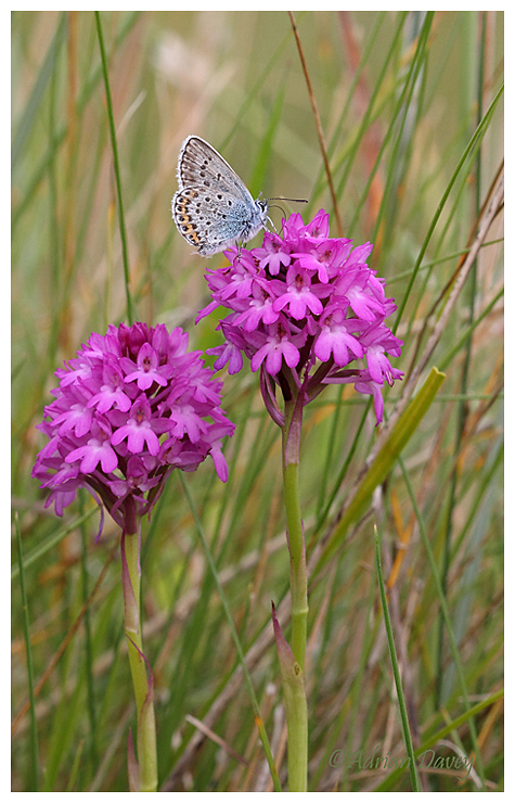 Silver Studded Blue on Pyramidal Orchid