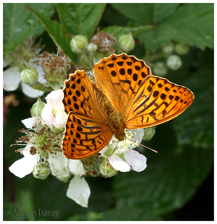 Silver Washed Fritillary 2
