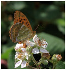 Silver Washed Fritillary 1