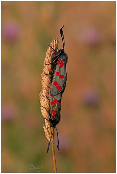 Six Spot Burnet Moths mating