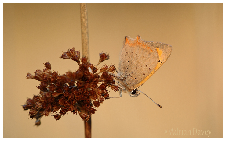 Small Copper, resting on reed in early evening light